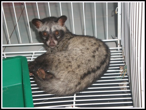 This is Cinchan, a female palm civet cat