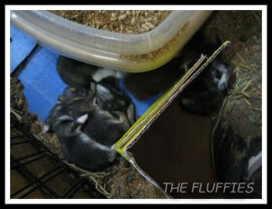 From the same litter, 3 out of the 5 kits are Mocha, Mickybell & Maxie