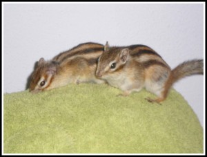 Loving couple chipmunks, Chip & Chepard